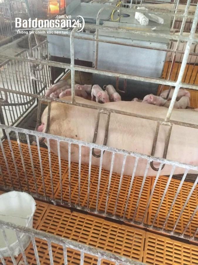 Sang nhượng trang trại lợn 2 hecta Hòa Bình