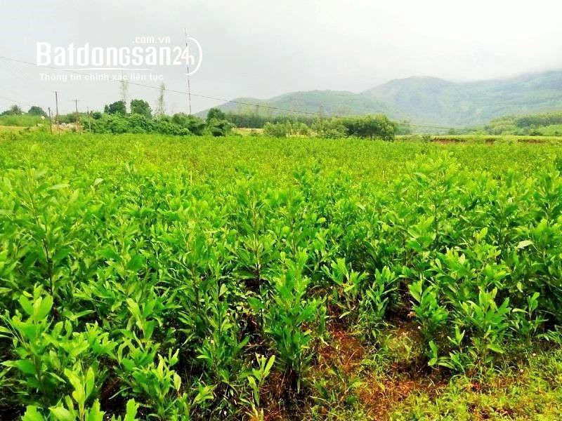 Sang nhượng đất trồng rừng nguyên liệu tại Thanh Hóa